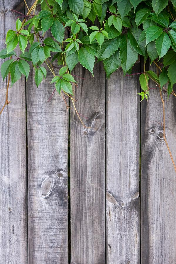 在葡萄酒木背景的叶子狂放的葡萄与拷贝空间 免版税库存图片