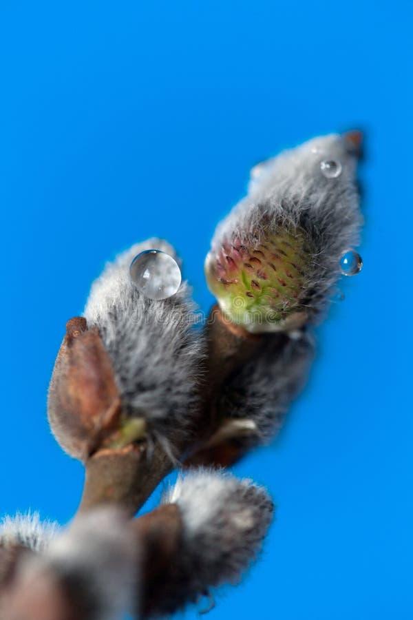在蓝色背景,特写镜头的杨柳枝杈 浅深度的域 免版税库存图片