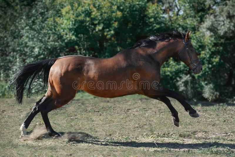 在自由的棕色trakehner体育马不用支撑的跳过器械在夏天 库存图片