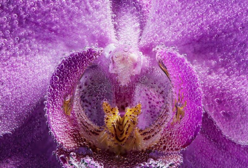 在苏打水的Labellum花兰花兰花植物紫色颜色特写镜头与下落 库存照片