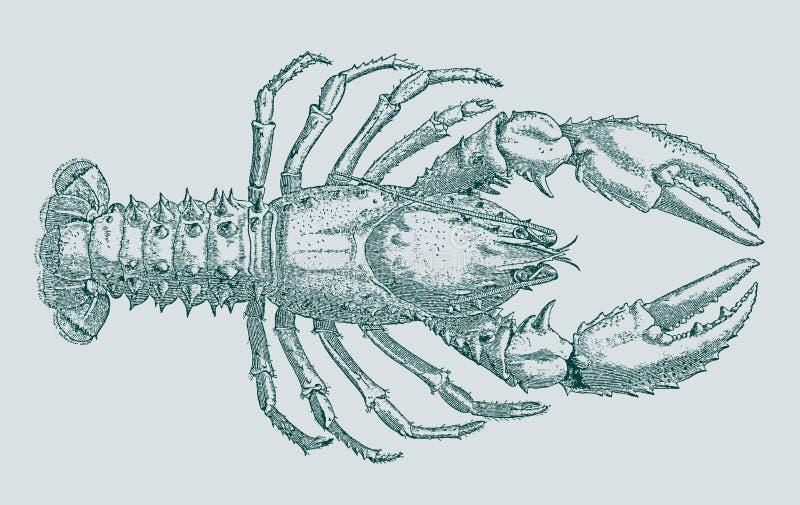在顶视图的澳大利亚红色爪小龙虾cherax quadricarinatus 库存例证