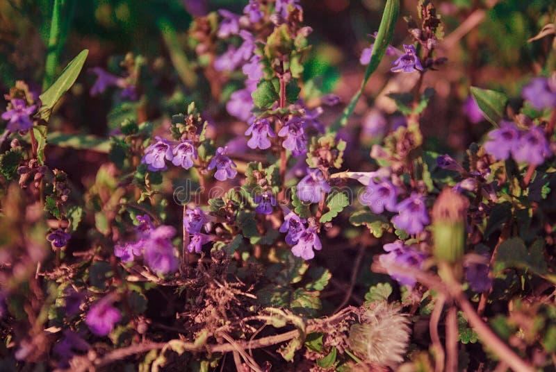 在领域的小狂放的紫色花 免版税图库摄影