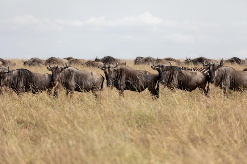 在马塞人玛拉,肯尼亚,非洲的平原的角马 图库摄影