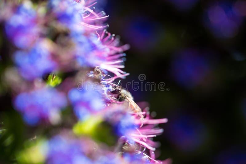 在马德拉植物自豪感的蜂  免版税库存图片