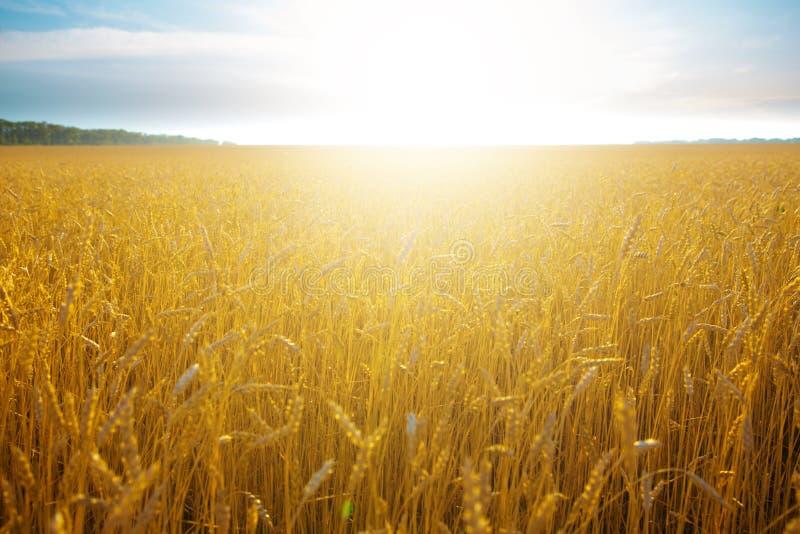 在麦田的美好的日落 免版税图库摄影