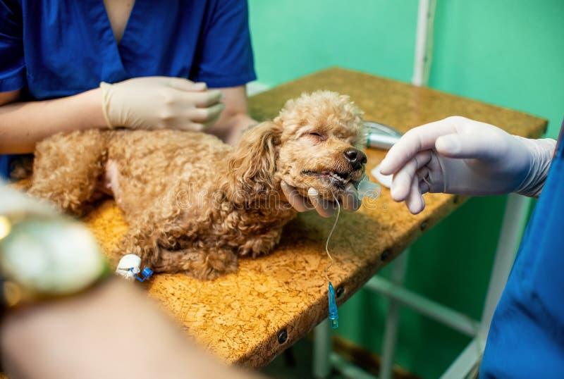 在麻醉下的狗在外科桌上 消毒在操作的动物的操作 库存照片