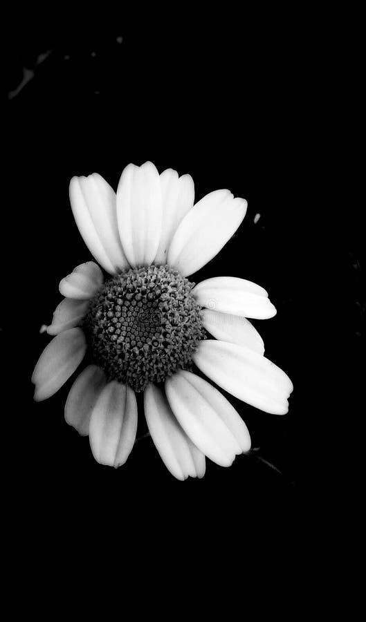 在黑白照片的花 皇族释放例证