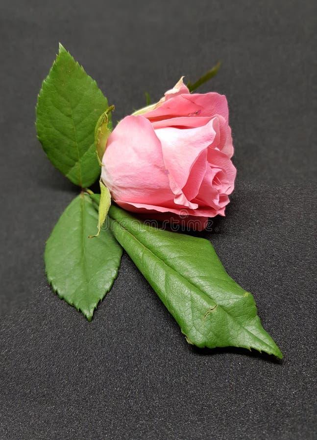 在黑背景的软的桃红色玫瑰 玫瑰色开花特写镜头  图库摄影