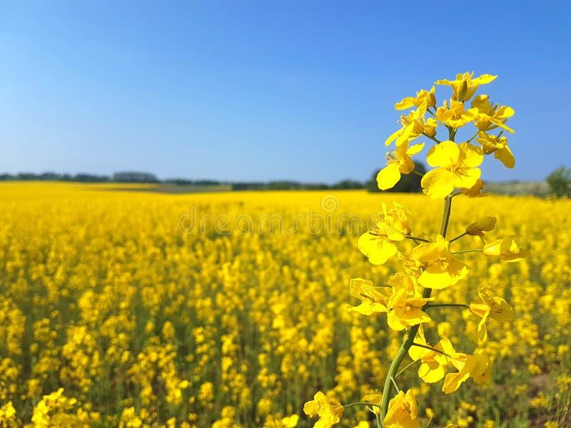 在黄色油菜领域的偏僻的开花的油籽种子 库存照片