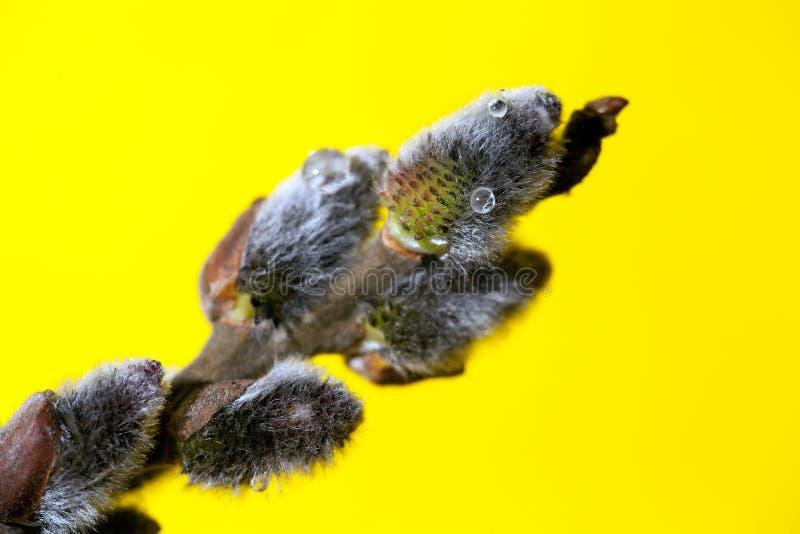 在黄色背景,特写镜头的褪色柳枝杈 浅深度的域 免版税库存图片