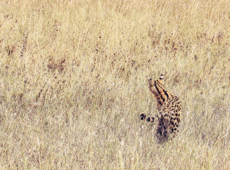 在长的干草的Camoflaged薮猫 图库摄影