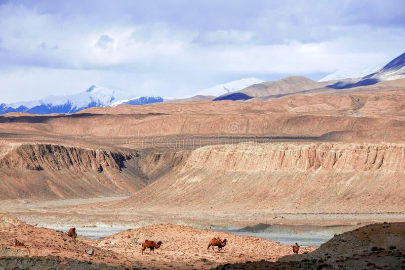 在雪山的脚的骆驼在帕米尔高原的秋天的 库存照片