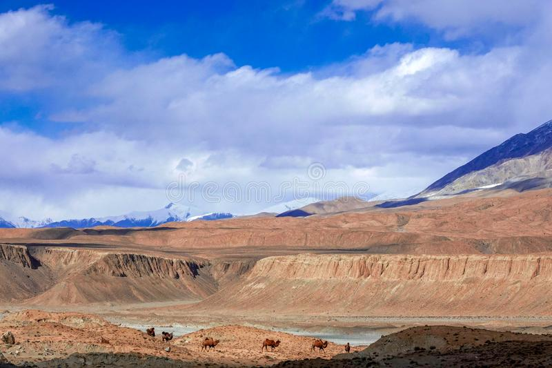 在雪山的脚的骆驼在帕米尔高原的秋天的 免版税库存照片