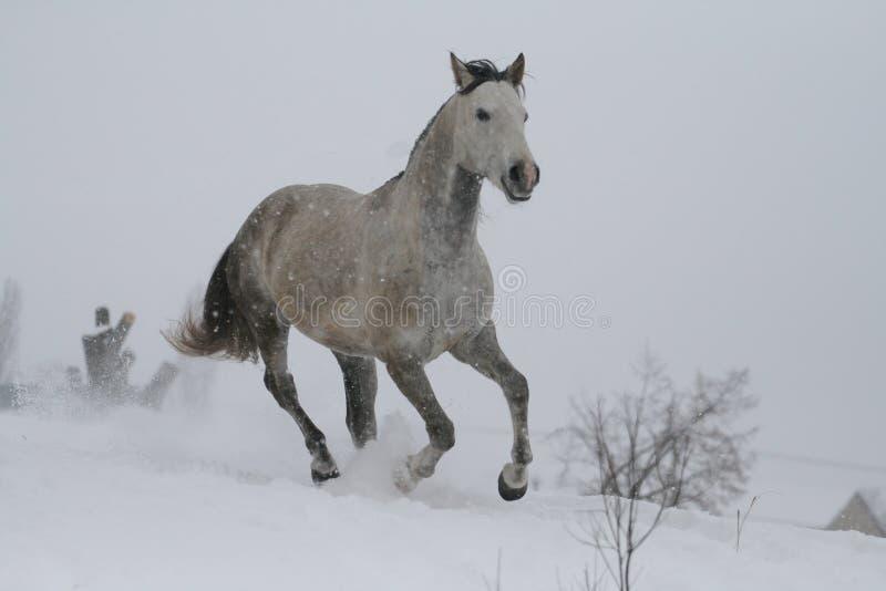 在雪倾斜小山的阿拉伯马在冬天 公马是在Trakehner和阿拉伯品种之间的一个十字架 免版税库存图片