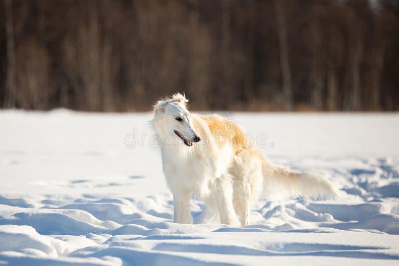 在雪的年轻和美好的俄国俄国猎狼犬狗或猎狼犬身分在领域在冬天 免版税库存照片