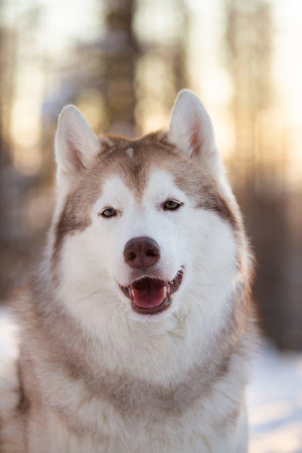 在雪道路的逗人喜爱,美好和愉快的西伯利亚爱斯基摩人狗身分在日落的冬天森林里 免版税库存图片