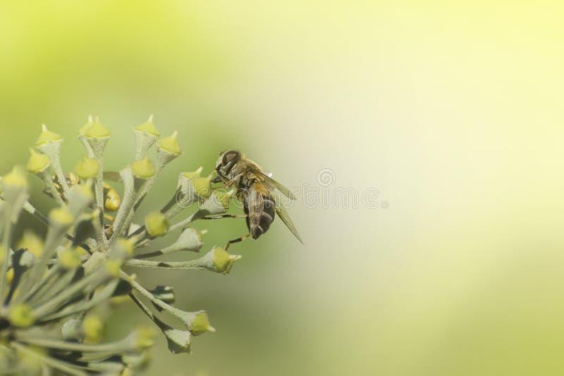 土蜂坐忍冬属植物开花 库存图片