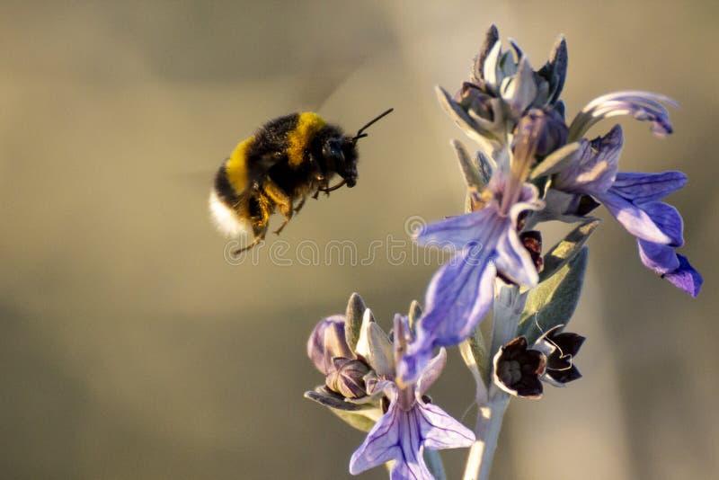 土蜂在春天的接近一朵紫色花 库存照片