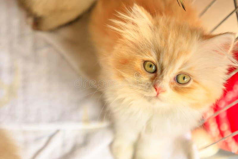 土耳其安哥拉猫猫看 库存图片