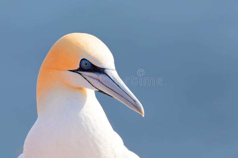 北gannet,Helgoland德国 免版税图库摄影