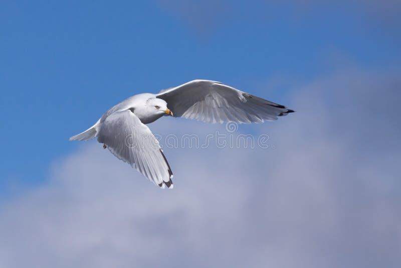 圆环开帐单的鸥推力到天空里 图库摄影
