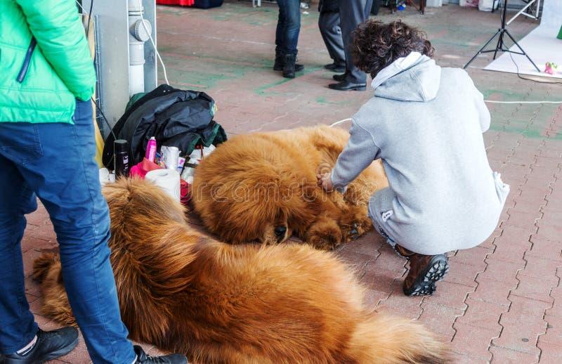 傲德萨,乌克兰2019年3月5日:在一次狗展示的迷人的良种穿着考究的狗与他们的所有者和教练员 免版税库存照片