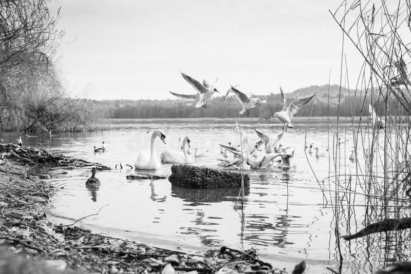 Łabędź i ptaki zdjęcia royalty free
