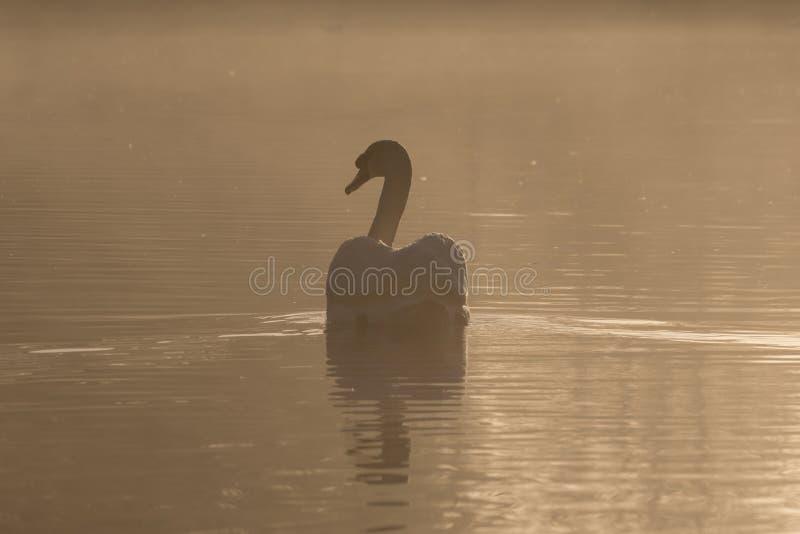 Łabędź w mgle obraz royalty free