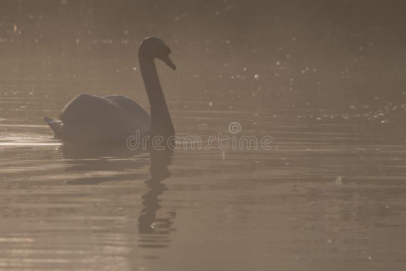 Łabędź w mgle zdjęcia royalty free