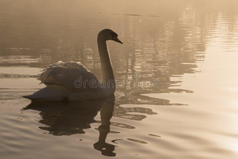 Łabędź w mgle zdjęcia stock