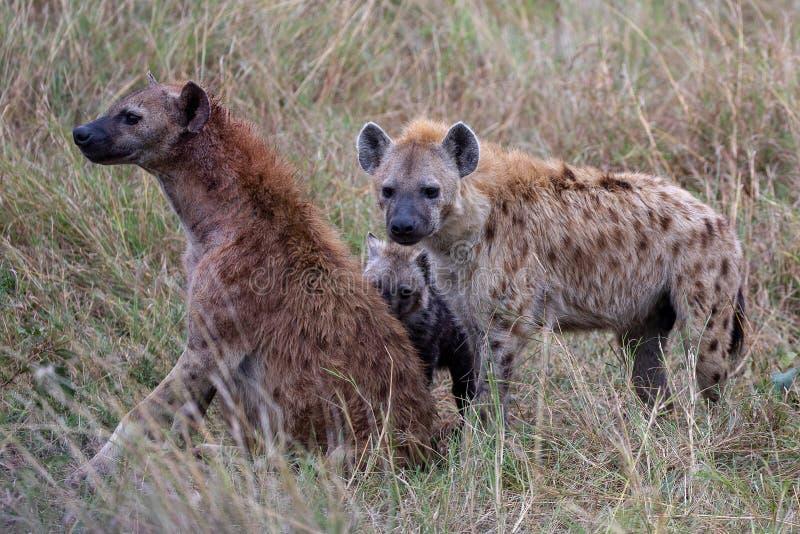 Łaciaste hieny, Kenja, Afryka zdjęcia stock