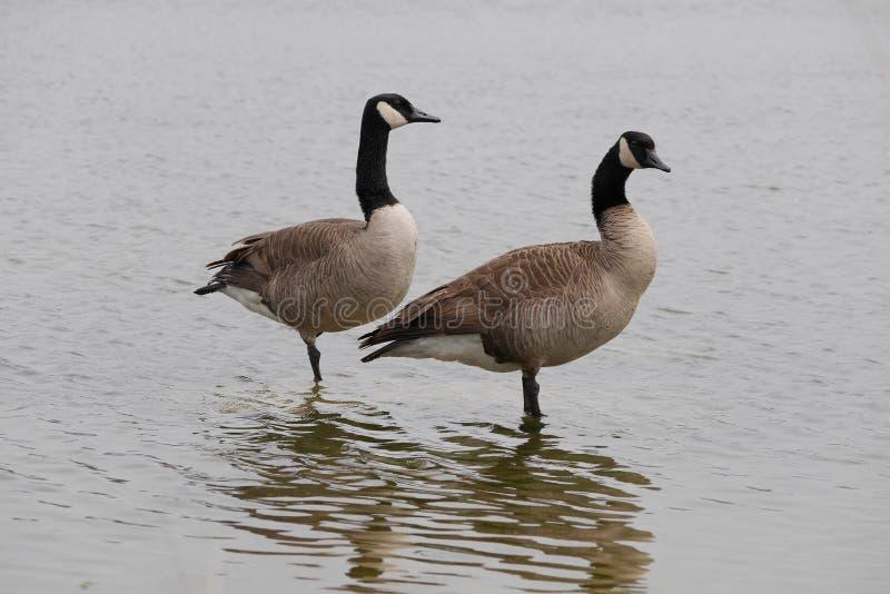 Ładna para Kanadyjskie gąski w wodzie zdjęcia royalty free