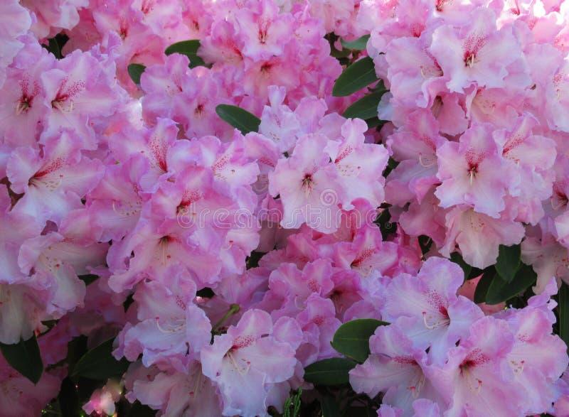 Ładni Różowi leluja kwiaty kwitną w parka ogródu Vancouver b C Kanada fotografia royalty free