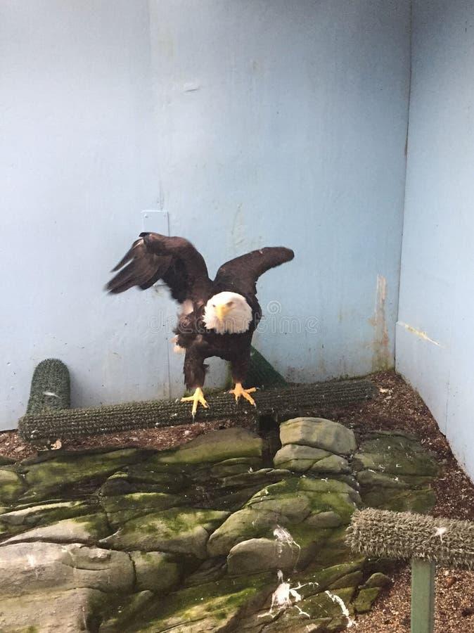 Łysego Eagle obsiadanie na żerdzi z skrzydłami rozprzestrzeniającymi obrazy royalty free
