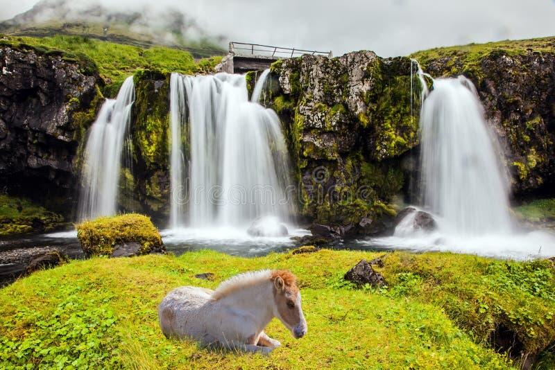 冰岛白马休息了 图库摄影