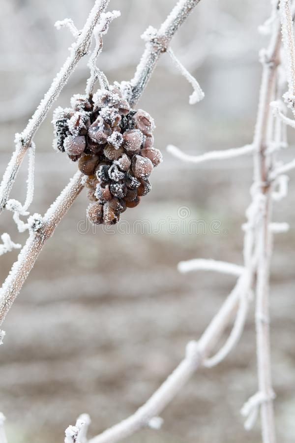冰酒 冰酒的葡萄酒红葡萄在冬天情况和雪 白色剥落冰盖的结冰的葡萄,醴i 免版税库存照片