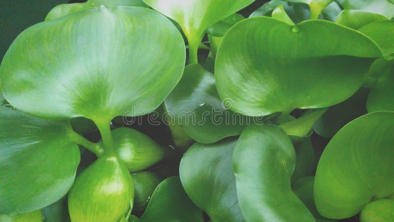 凤眼兰植物的魅力 库存图片