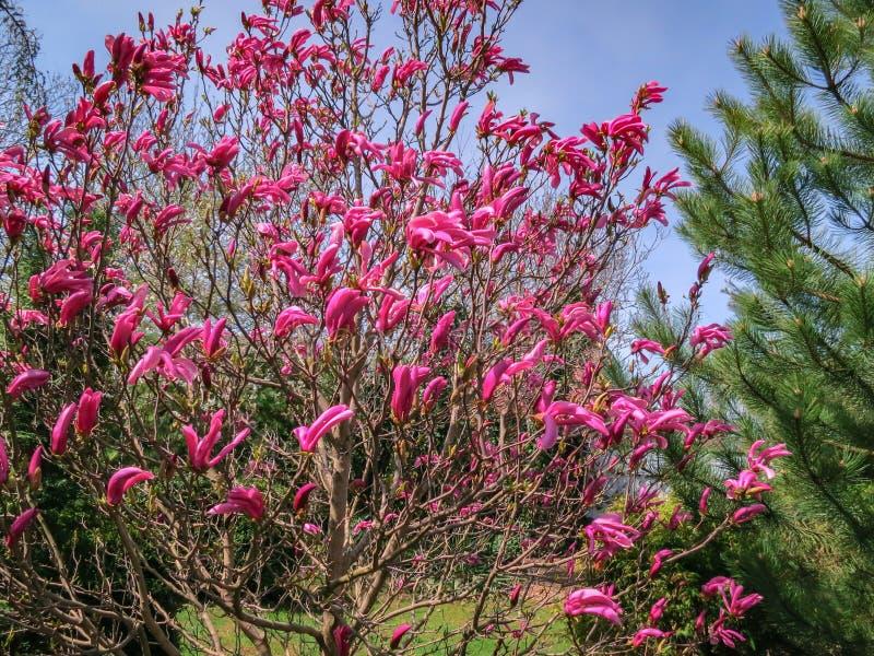 全部大桃红色花和芽木兰苏珊木兰liliiflora x木兰stellata在庭院里 库存照片