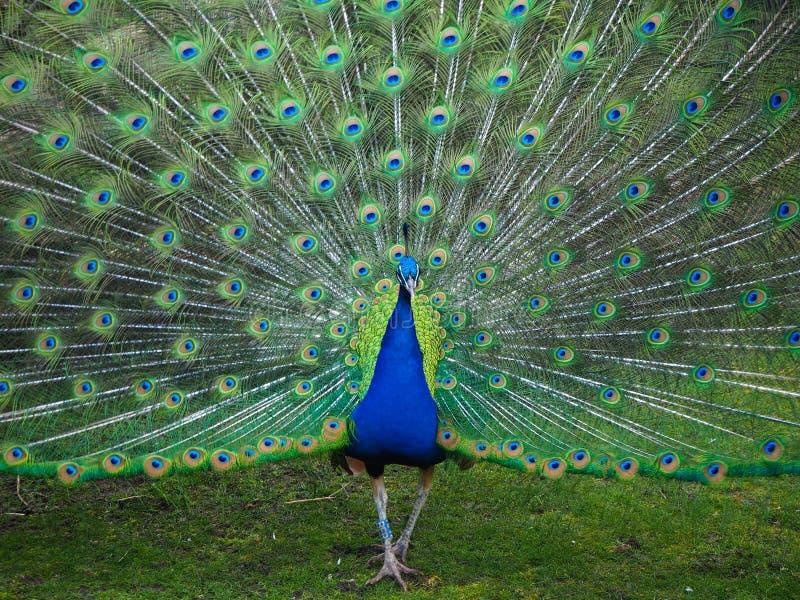公孔雀在春天的显示它的尾羽 免版税库存图片