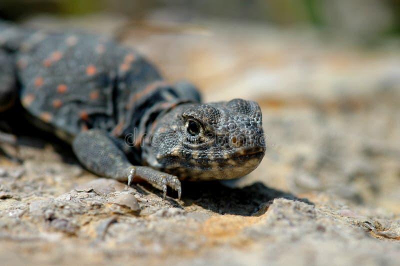 公用抓住衣领口的蜥蜴 免版税库存照片