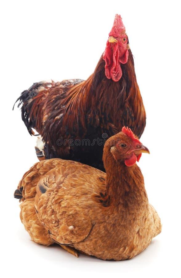 公鸡和母鸡 免版税库存照片