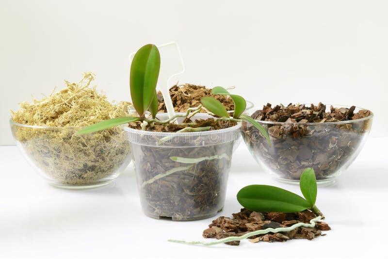 兰花的耕种在家 植物移植和生长概念 小年幼植物,在罐的兰花幼木 免版税库存照片