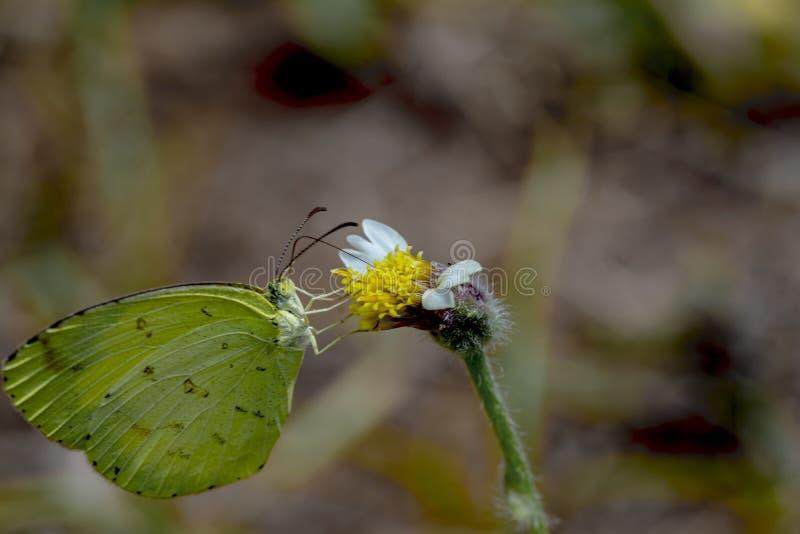 共同的草黄色蝴蝶或Eurema hecabe 免版税库存图片