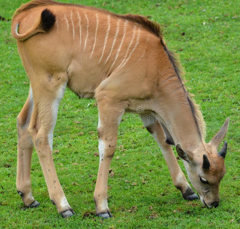 共同的eland小牛 库存照片