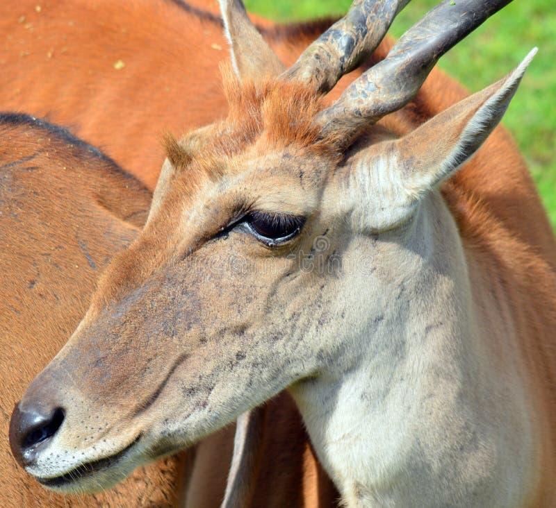 共同的eland 库存照片