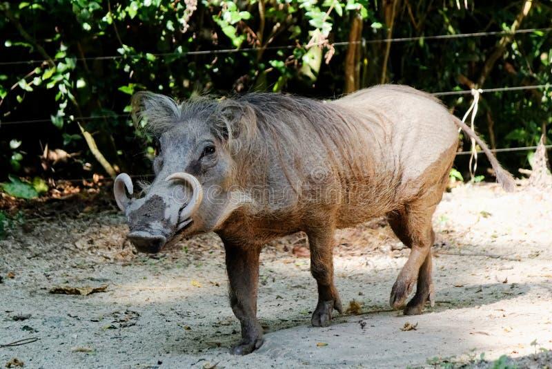 共同的warthog,白色象牙 库存图片