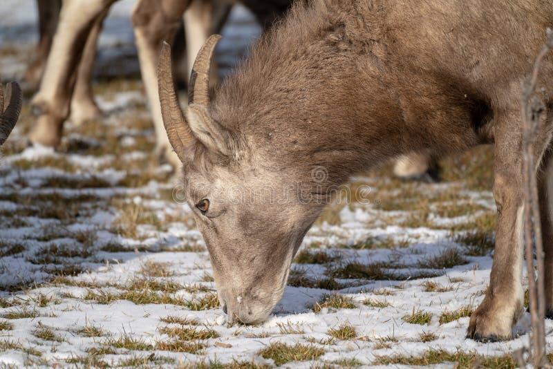 关闭吃积雪的草的一只母母羊大角野绵羊在冬天 库存图片