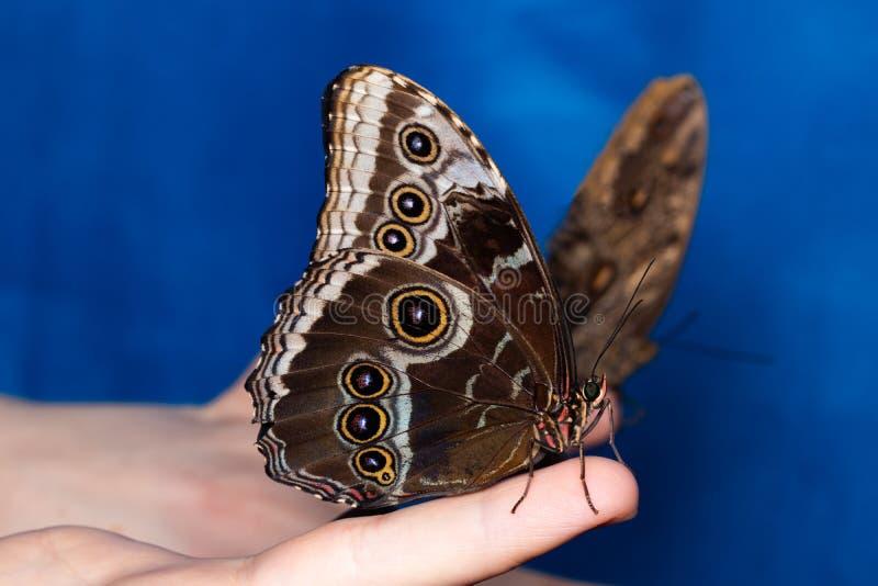 关闭在妇女手上的蝴蝶 本质秀丽 图库摄影