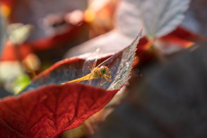 关闭在绿色叶子关闭的金黄蜻蜓  图库摄影