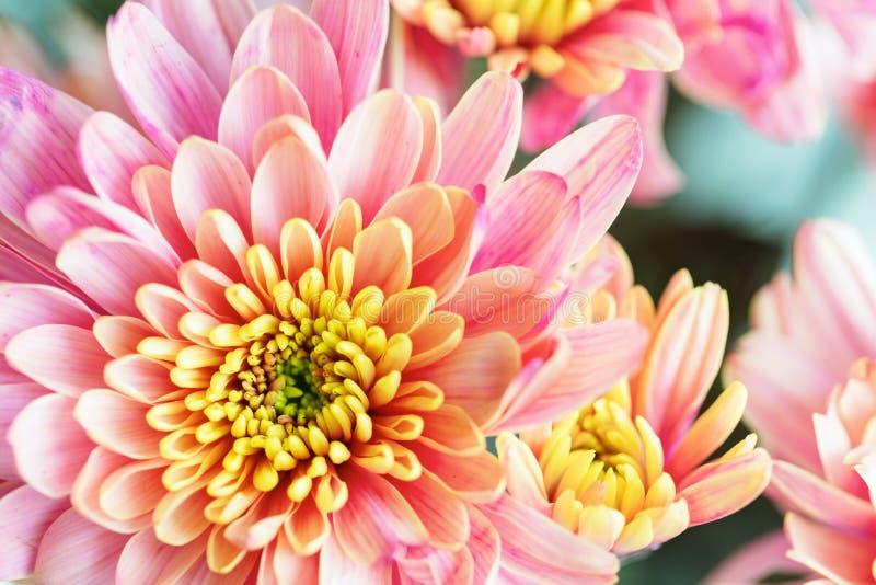 关闭桃红色和黄色菊花花,宏指令背景  库存图片